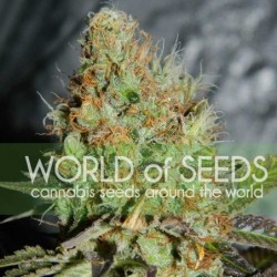 WOS Afghan Kush Special (3uds)