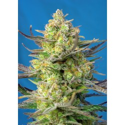 Sweet Seeds Sweet Cheese XL...