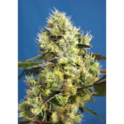 Sweet Seeds Sweet Gelato...