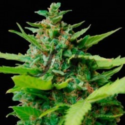 Samsara Seeds Kiss Dragon...